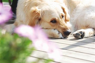 """狗是一种常见的犬科哺乳动物,通常被称为""""人类最忠实的朋友"""",听觉"""